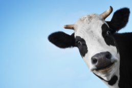 funny cow looking weird