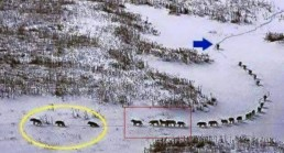 Leadership wolves pack in snow